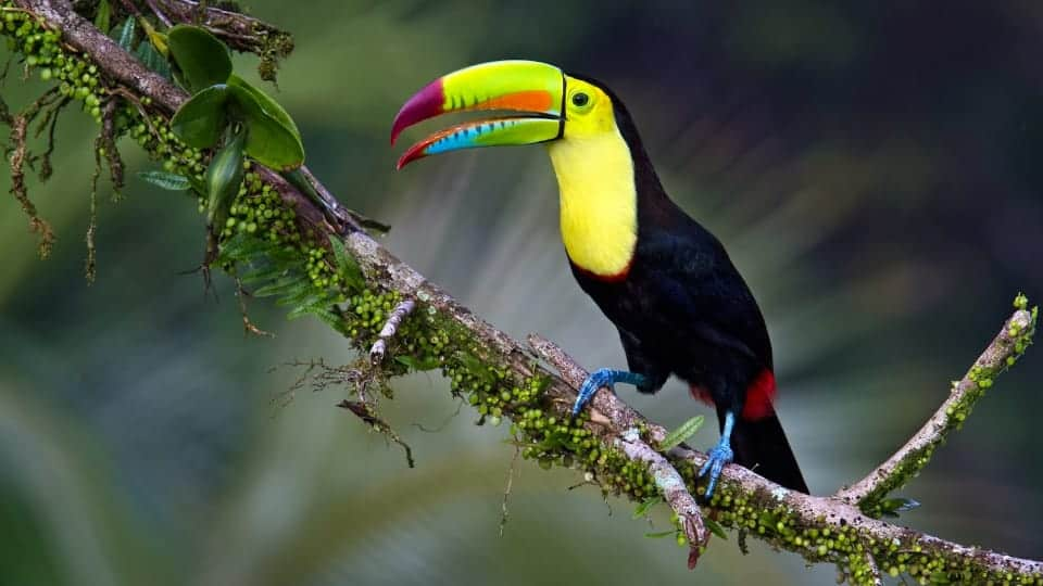 Bottom Charged Toucan Bird